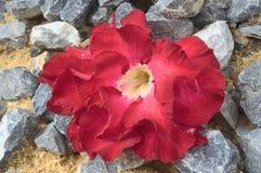 Редкий вид цветка пустыни Adenium aka розового над песком и утесом Стоковое фото RF
