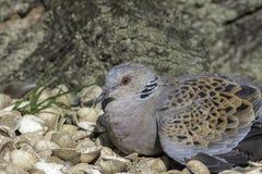 Редкий голубь черепахи отдыхая на раковинах Стоковые Изображения RF