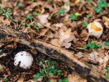 Редкий гриб в древесинах в траве Мухомор Caesarea, Kesar Стоковое Изображение