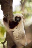 Редкий лемур увенчал Sifaka, Propithecus Coquerel, наблюдая от дерева рядом, запас Ankarafantsika, Мадагаскар стоковые изображения