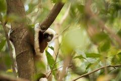 Редкий лемур увенчал Sifaka, Propithecus Coquerel, наблюдая от дерева рядом, запас Ankarafantsika, Мадагаскар стоковое фото rf