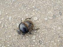 Редкий жук навоза от Addo в Африке стоковое изображение rf