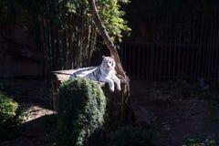Редкий красивый белый тигр Стоковая Фотография