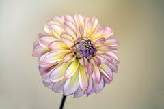 Редкий цветок георгина Стоковое Фото