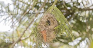 Редкое, угрожаемое, & эндемичное женское Usambara Двух-collared Sunbird стоковое фото
