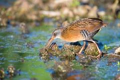 Рельс Вирджинии в болоте Стоковое фото RF