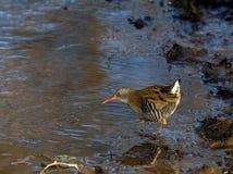 Рельс воды ища для aquaticus Rallus еды Стоковые Фото
