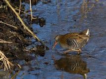 Рельс воды ища для aquaticus Rallus еды Стоковые Фотографии RF