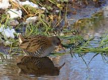 Рельс воды ища для aquaticus Rallus еды Стоковая Фотография