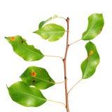Ржавчина груши на ветви изолированной на белизне Стоковая Фотография RF