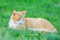 Ржавый кот спать в траве Стоковое фото RF