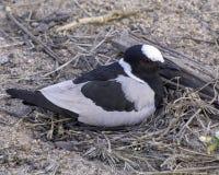 Ржанка Lapwing кузнеца - птицы большого парка Lumpopo Transfrontier стоковые изображения