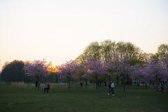 РИГА, ЛАТВИЯ - 24-ОЕ АПРЕЛЯ 2019: Люди в парке победы наслаждаясь вишневым цветом Сакуры - каналом города с летанием чайок стоковая фотография rf