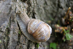 Римская улитка на конце ствола дерева вверх Стоковые Изображения RF
