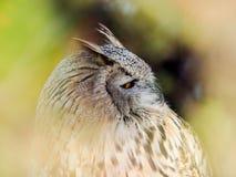 Ринв евроазиатского Scops-сыча хищной птицы lokking древесины Стоковое Фото