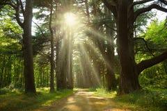 ринв sunbeams пущи кедра Стоковое Изображение RF