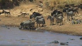 Рискованное предприятие зебры выпивая от реки mara в запасе игры mara masai видеоматериал