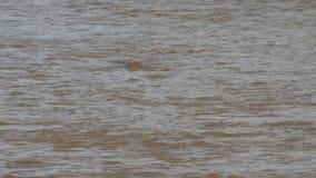 Рискованное предприятие плавания крокодила в реке Mara в Кении акции видеоматериалы