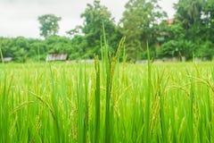 Рисовая посадка в зернах продукции поля в сельском Стоковые Фотографии RF