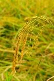 Рисовая посадка в падие Стоковое Фото