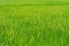 Рисовая посадка в поле риса. Стоковые Фотографии RF