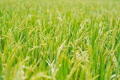Рисовая посадка в поле риса. Стоковые Изображения RF