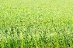 Рисовая посадка в поле риса Стоковая Фотография