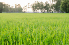 Рисовая посадка в поле риса Стоковые Изображения