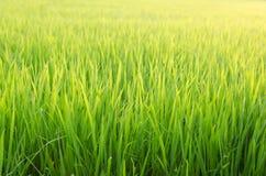Рисовая посадка в поле риса Стоковые Фотографии RF