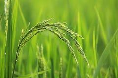 Рисовая посадка в поле стоковое фото