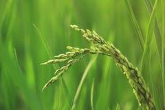 Рисовая посадка в поле стоковая фотография rf