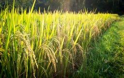 Рисовая посадка в рисовых полях в Таиланде Стоковые Фотографии RF