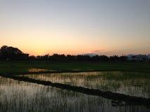 Рисовая посадка захода солнца вечера на рисовых полях нивы в Таиланде -го декабре #031 Стоковые Изображения RF