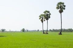 Рисовая посадка и ладони в стороне страны стоковые фото