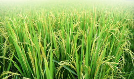 Рисовая посадка неочищенных рисов в поле риса, Таиланде Стоковое Фото