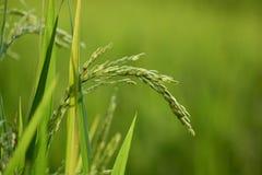 Рисовая посадка с зерном Стоковое фото RF