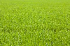 Рисовая посадка для предпосылки Стоковая Фотография