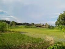 Рисовая посадка Стоковое Фото
