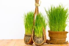 Рисовая посадка Стоковая Фотография RF