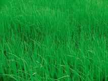 Рисовая посадка Стоковое фото RF