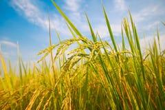 Рисовая посадка стоковые изображения