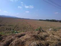 Рисовые поля в Kudus, центральной Ява Стоковое Фото