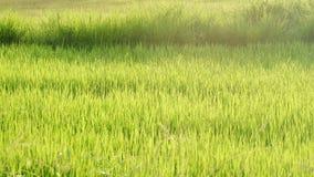 Рисовые поля зеленого цвета силуэта в сельской местности со светом солнца стоковые фотографии rf