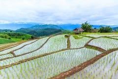 Рисовые поля или шагнутое поле риса Стоковое Изображение