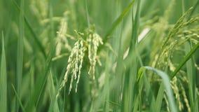 Рисовые поля на Tanjung Karang Selangor стоковые изображения rf