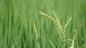 Рисовые поля на Tanjung Karang Selangor стоковое фото