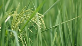 Рисовые поля на Tanjung Karang Selangor стоковое фото rf