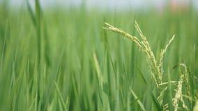Рисовые поля на Tanjung Karang Selangor стоковое изображение