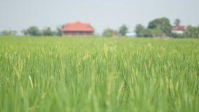 Рисовые поля на Tanjung Karang Selangor стоковые фотографии rf