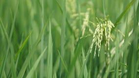 Рисовые поля на Tanjung Karang Selangor стоковые фото